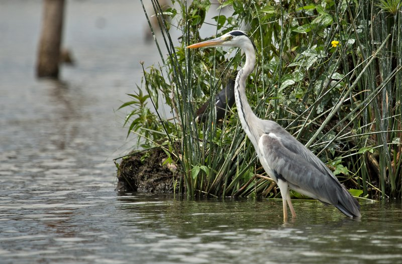 large_Grey_Heron_21.jpg