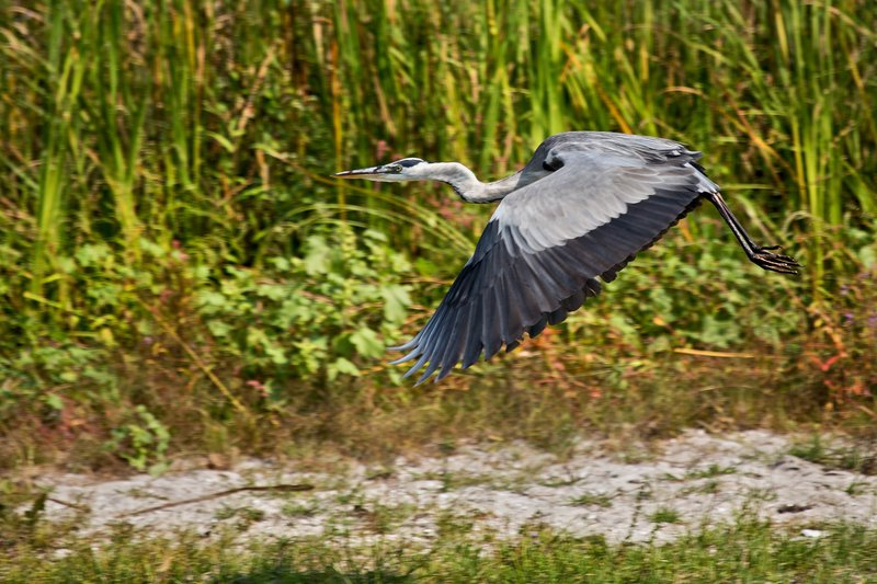 large_Grey_Heron_9.jpg