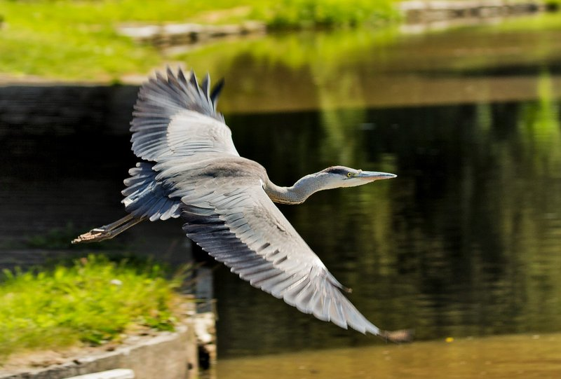 large_Heron_22.jpg