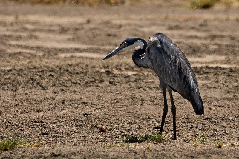 large_Heron__Black_Headed_3.jpg