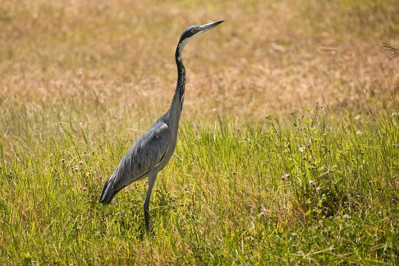 large_Heron__Black_Headed_31.jpg