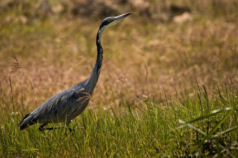 large_Heron__Black_Headed_33.jpg
