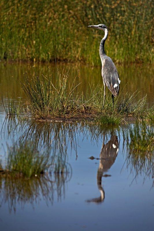 large_Heron__Grey_4.jpg