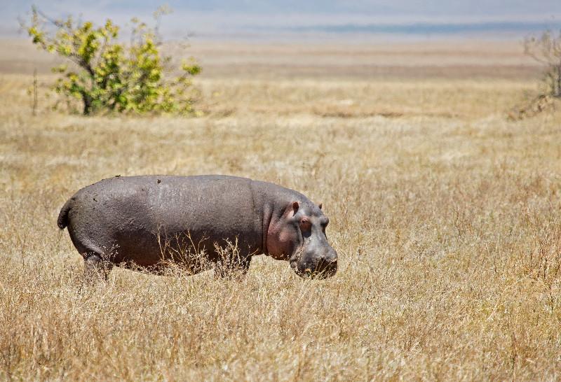 large_Hippo_1.jpg