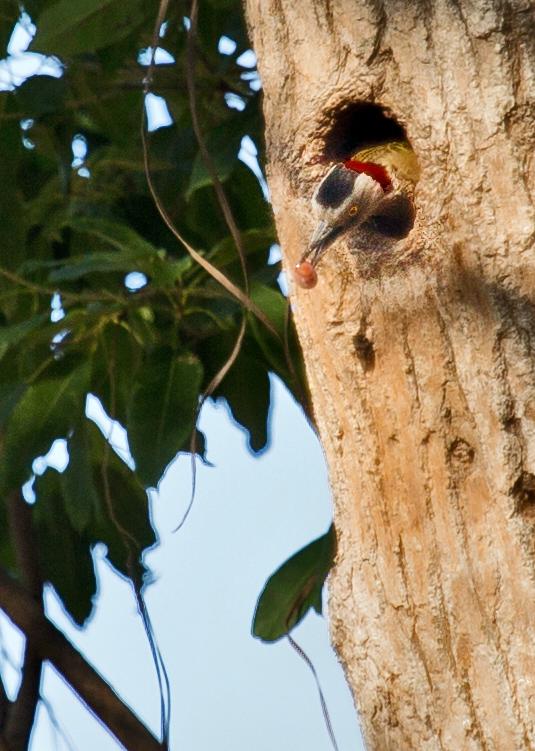 large_Hispaniolan_Woodpecker_15.jpg