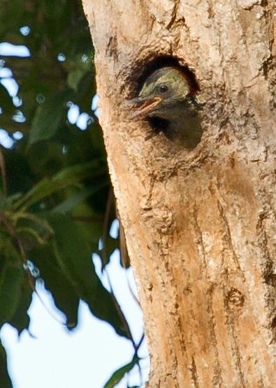 large_Hispaniolan_Woodpecker_19.jpg