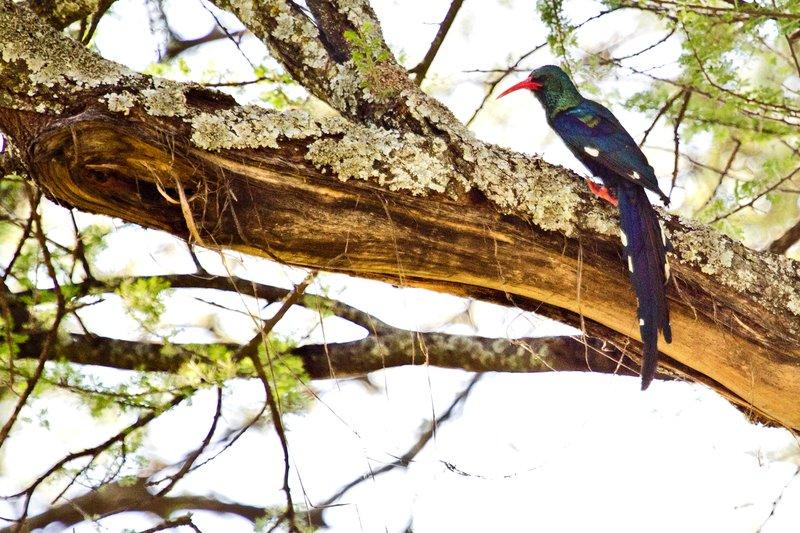 large_Hoopoe__Green_Wood_5-5.jpg