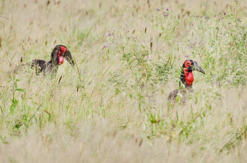 large_Hornbill__.._Ground_5-2.jpg