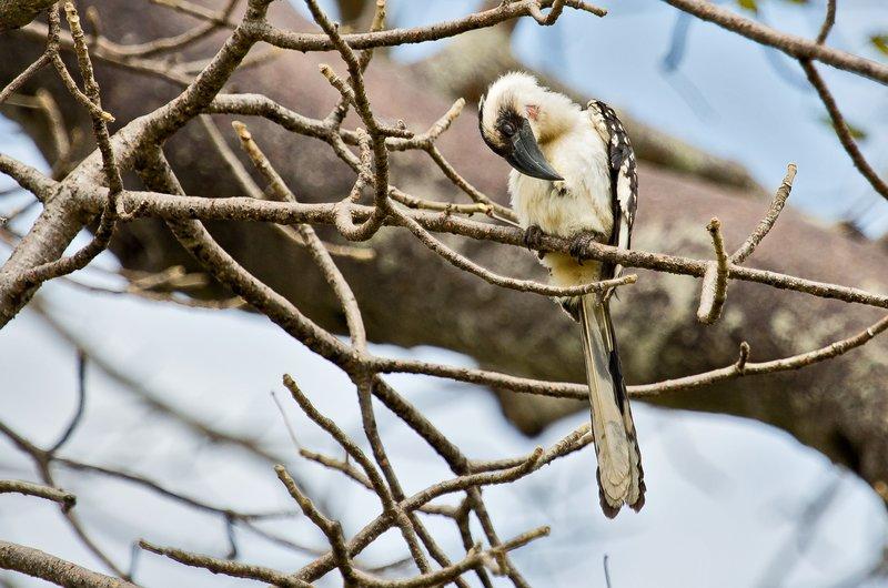 large_Hornbill__..female__5-1.jpg