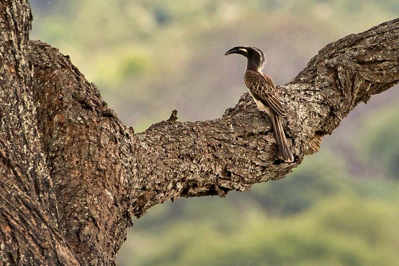 large_Hornbill__Grey_1.jpg