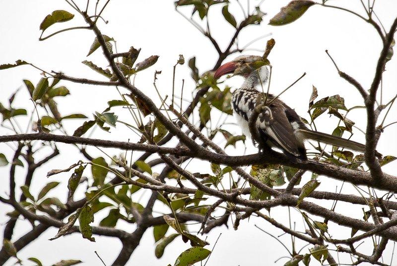 large_Hornbill__Red_Billed_5-1.jpg