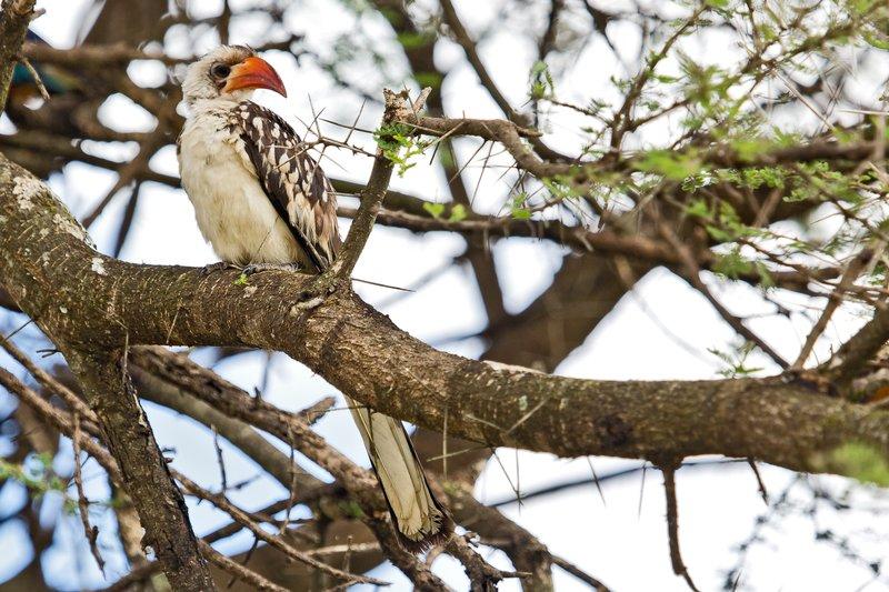 large_Hornbill__Red_Billed_5-2.jpg