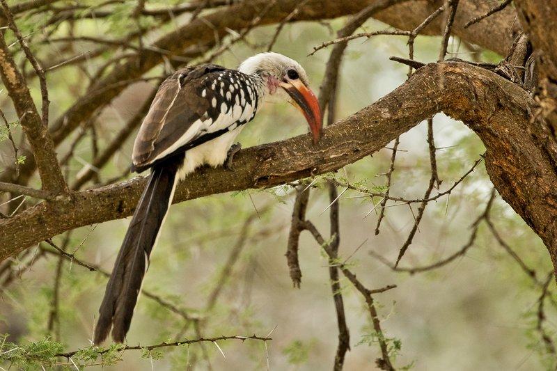 large_Hornbill__Red_Billed_75.jpg