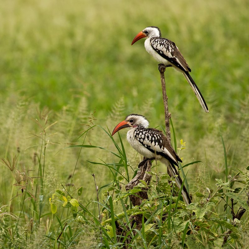 large_Hornbill__Red_Billed_79.jpg