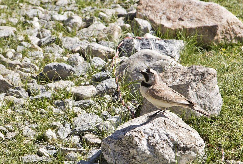large_Horned_Lark_1.jpg