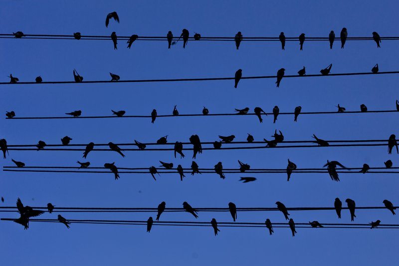 large_Housemartins_on_a_Wire_4.jpg