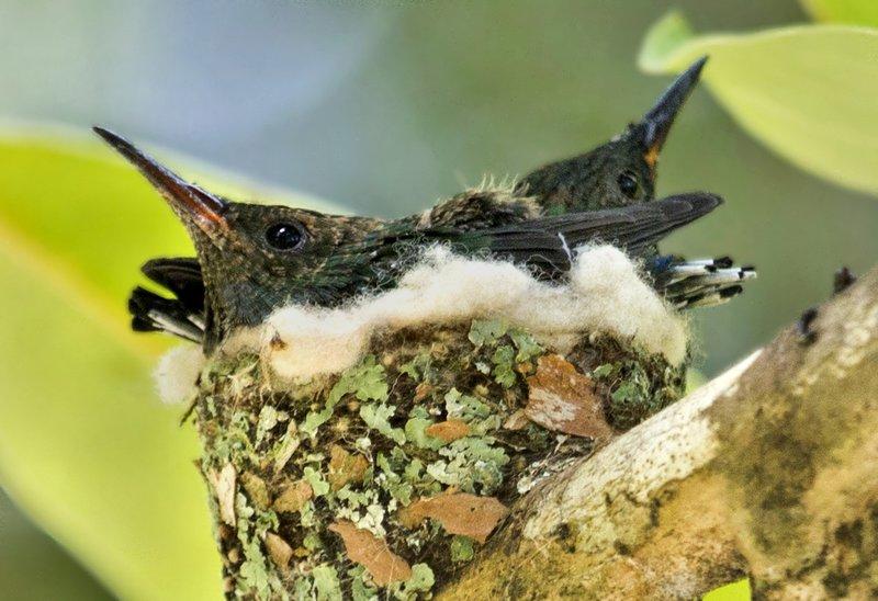 large_Hummingbird_Nest_5.jpg
