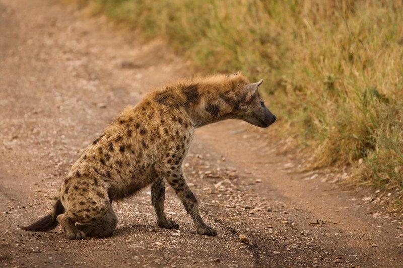 large_Hyena_803.jpg