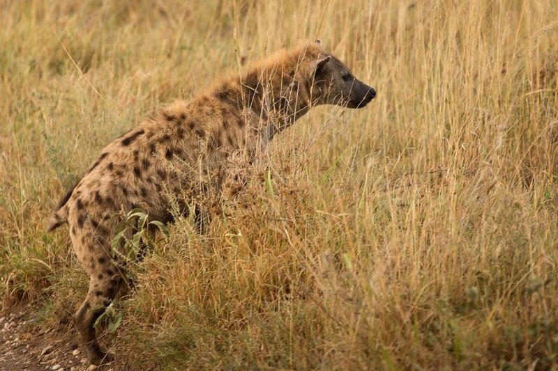 large_Hyena_805.jpg