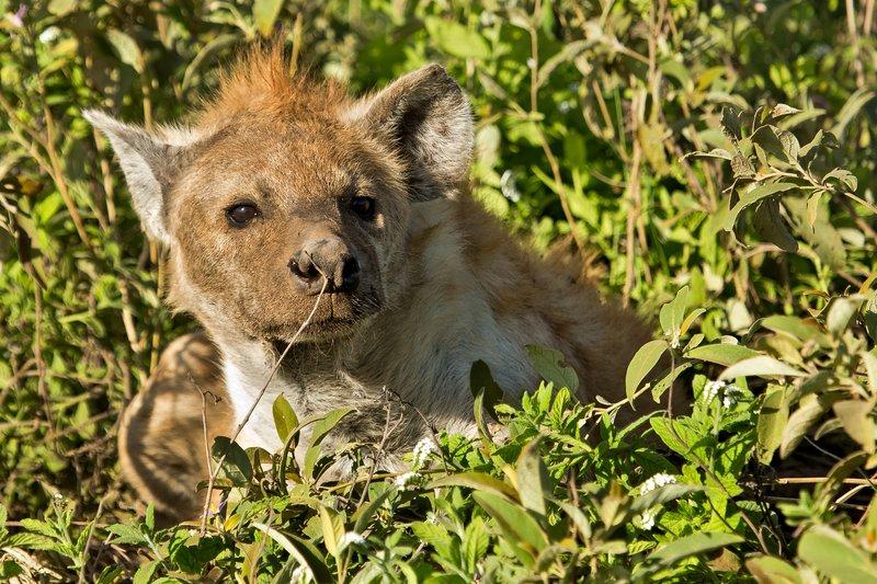 large_Hyena__Pre.._Female_7-5.jpg