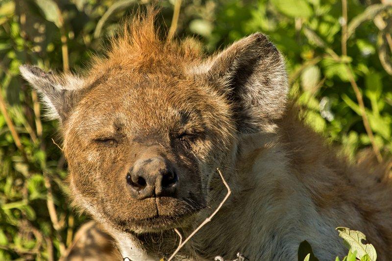large_Hyena__Pre.._Female_7-6.jpg