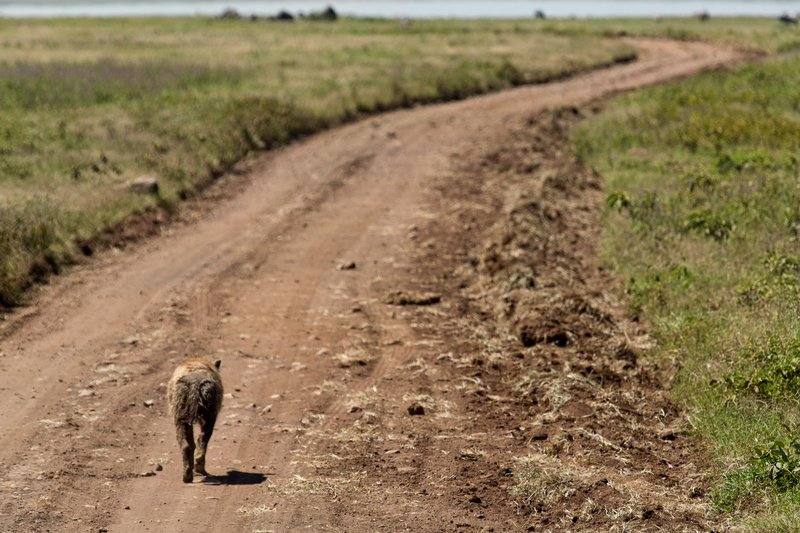 large_Hyena__Spotted_6-4.jpg