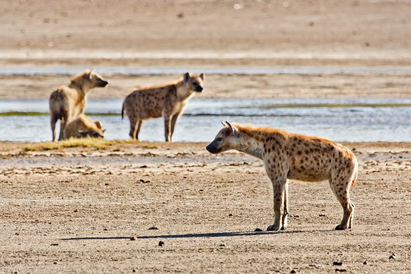 large_Hyena__Spotted_9-6.jpg