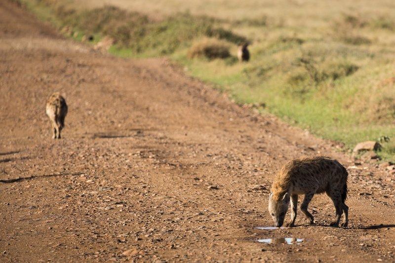 large_Hyenas_201.jpg