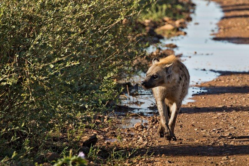 large_Hyenas_203.jpg