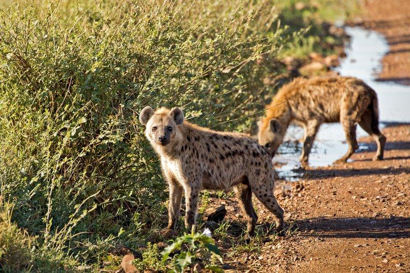 large_Hyenas_206.jpg