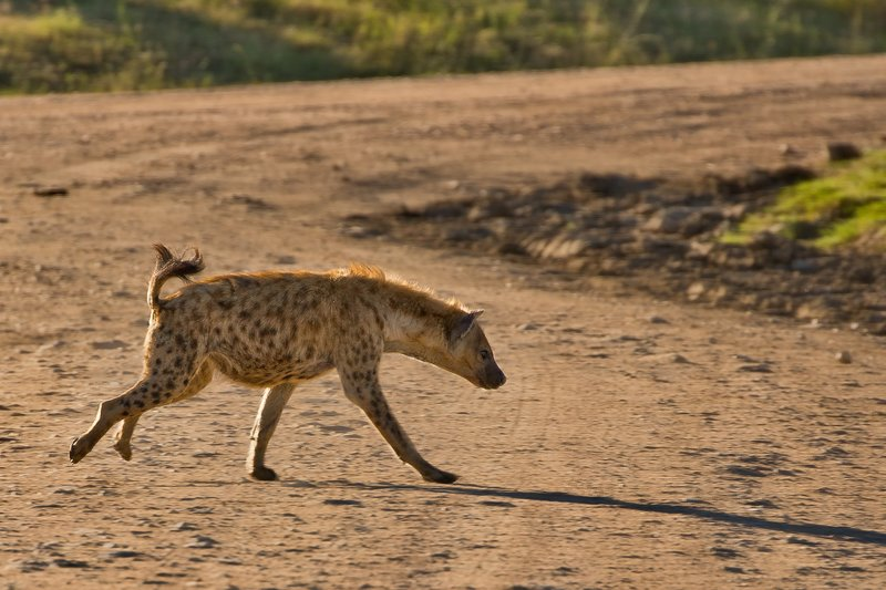large_Hyenas_23.jpg