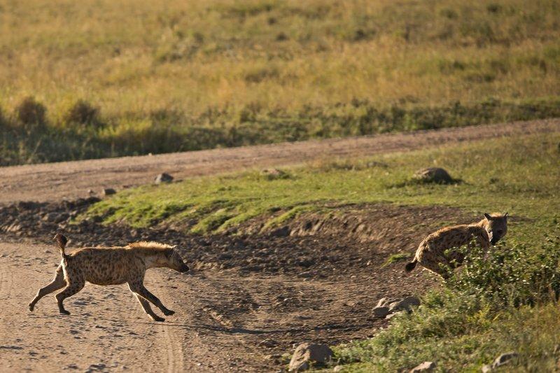 large_Hyenas_24.jpg