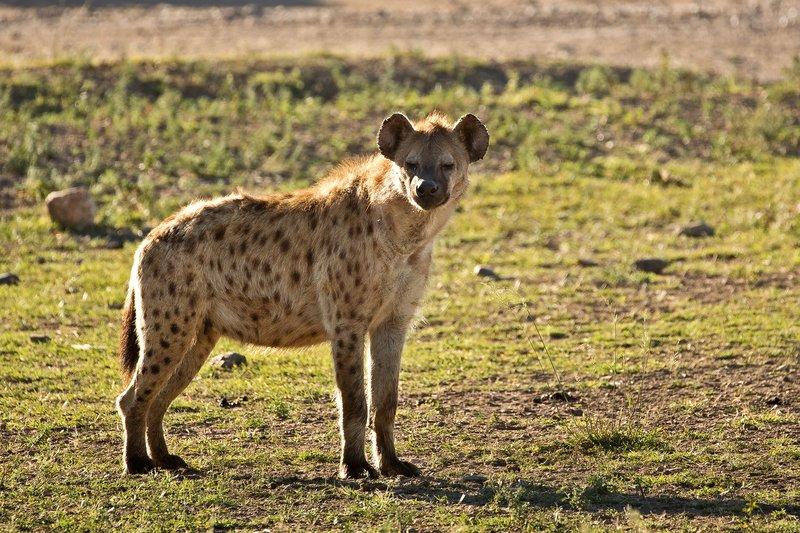 large_Hyenas_33.jpg