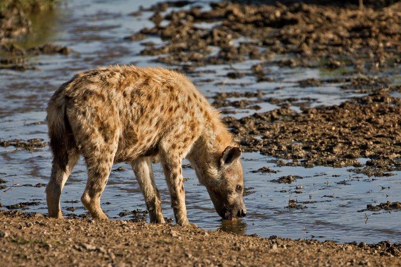 large_Hyenas_52.jpg