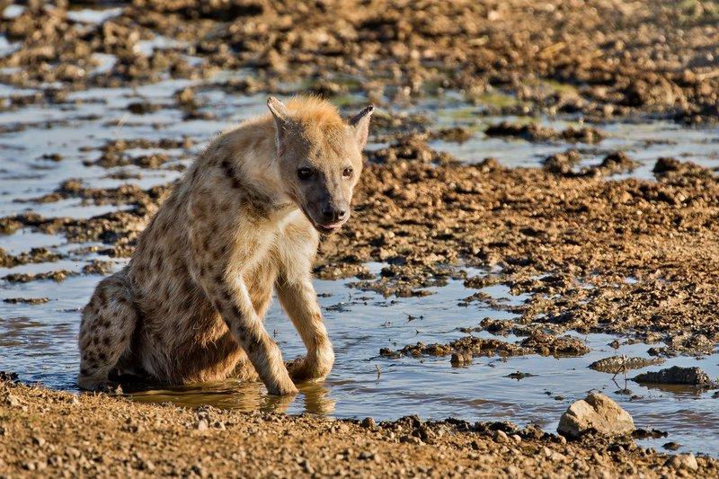large_Hyenas_56.jpg