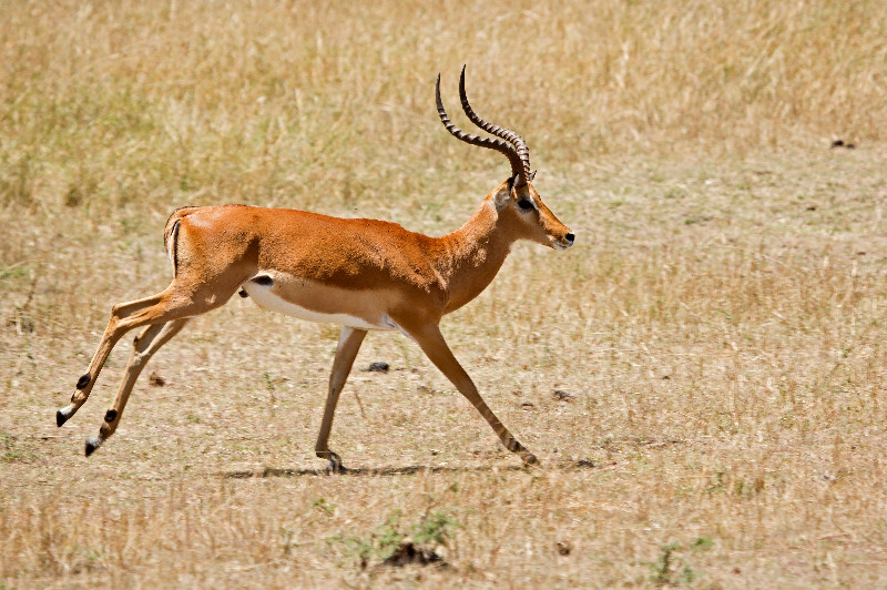 large_Impala_71.jpg