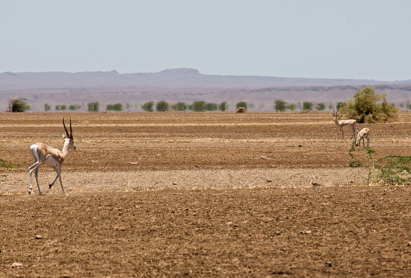 large_Impala_at_Kalacha_Dida_2.jpg