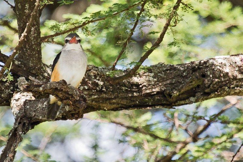 large_Kingfisher..Headed_5-11.jpg