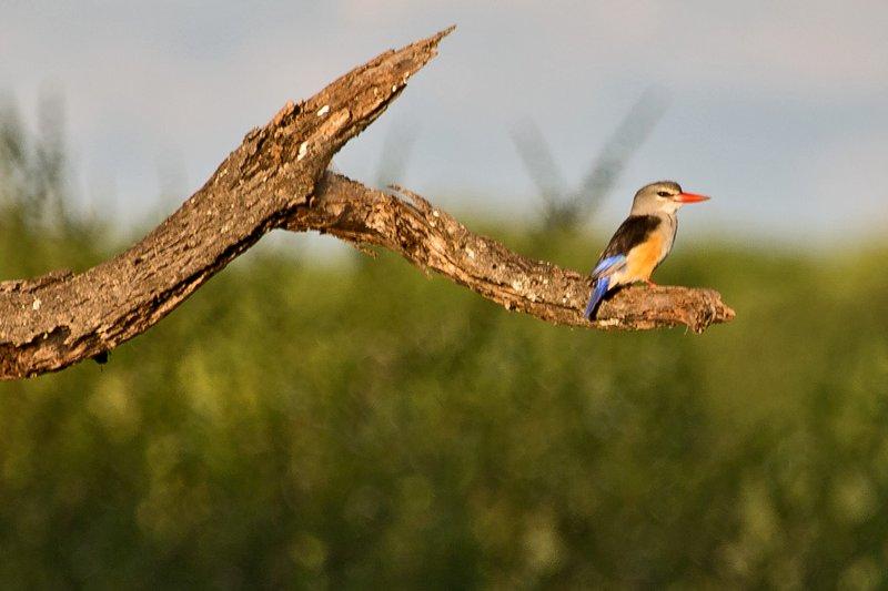 large_Kingfisher..Headed_5-12.jpg