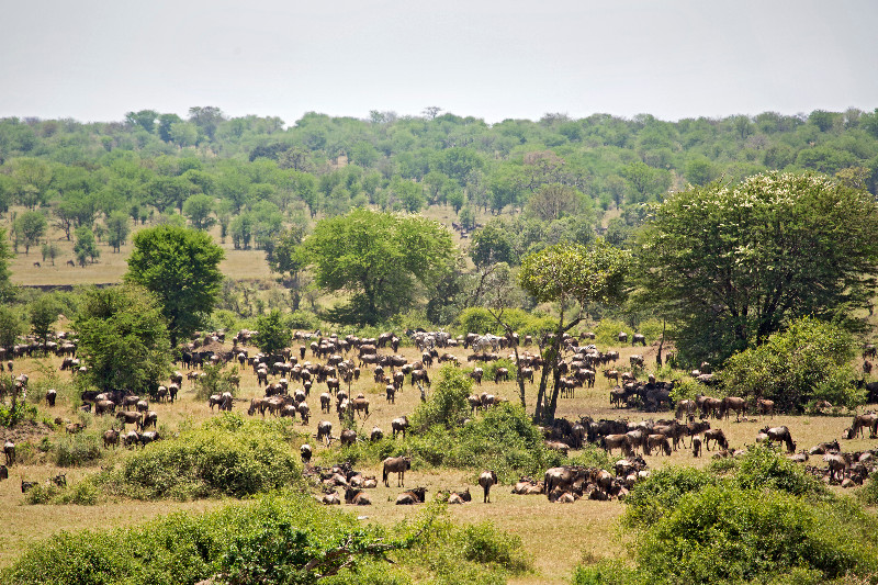 large_Large_Herd..ildebeest_2.jpg