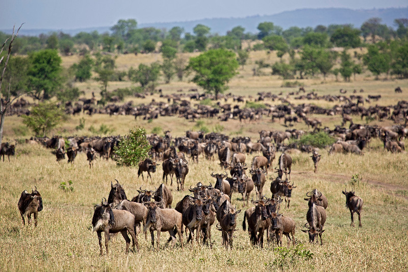 large_Large_Herd..ildebeest_4.jpg