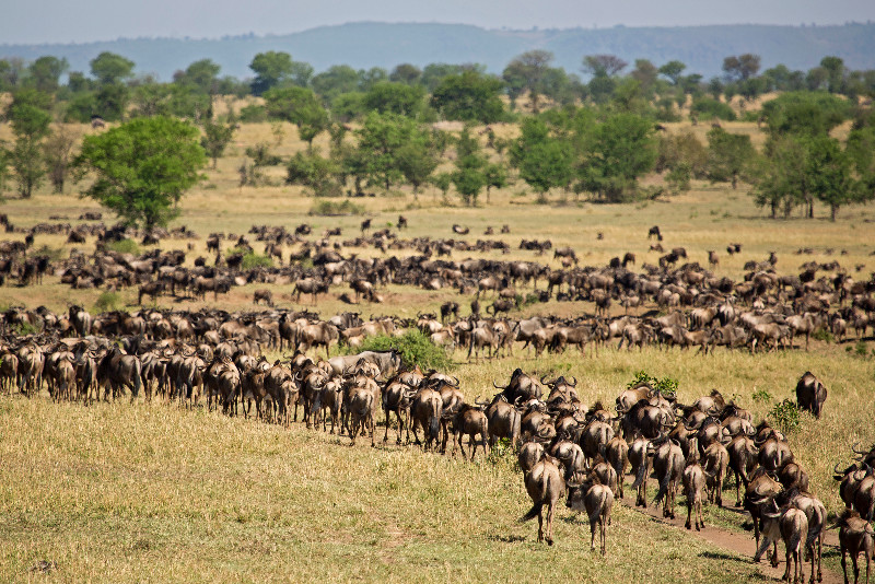 large_Large_Herd..ildebeest_5.jpg