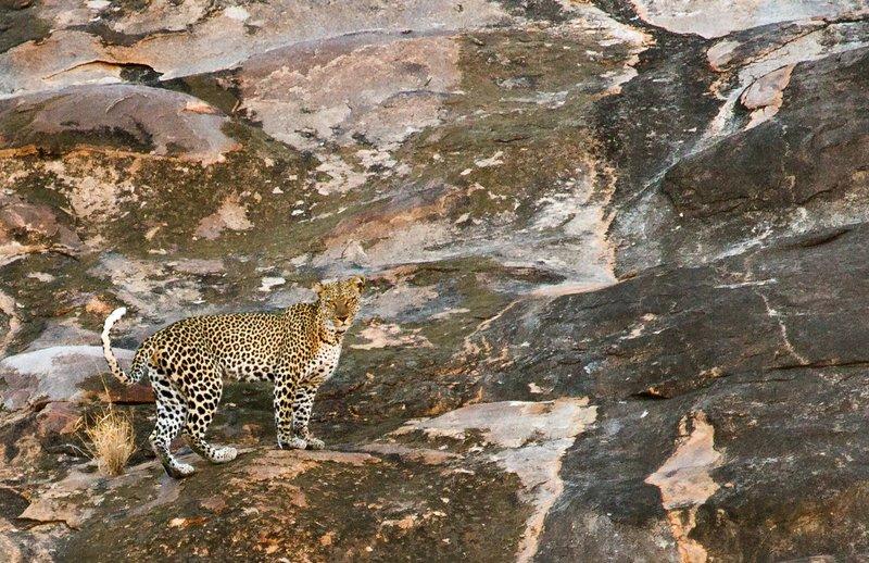 large_Leopard_12.jpg