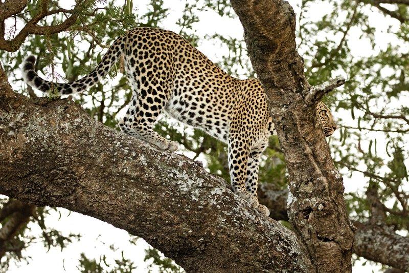 large_Leopard_126.jpg