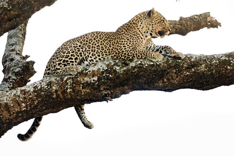 large_Leopard_127.jpg