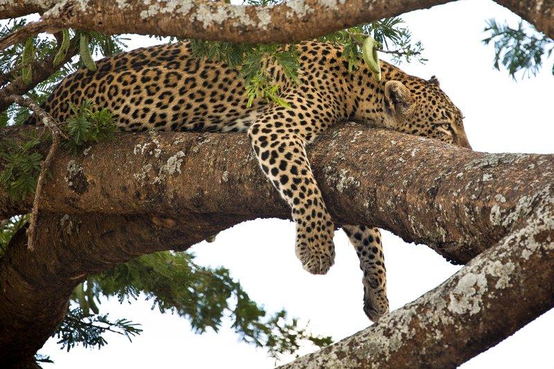 large_Leopard_14.jpg