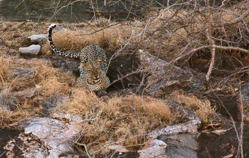 large_Leopard_3.jpg
