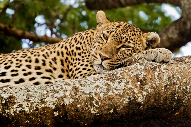 large_Leopard_31.jpg