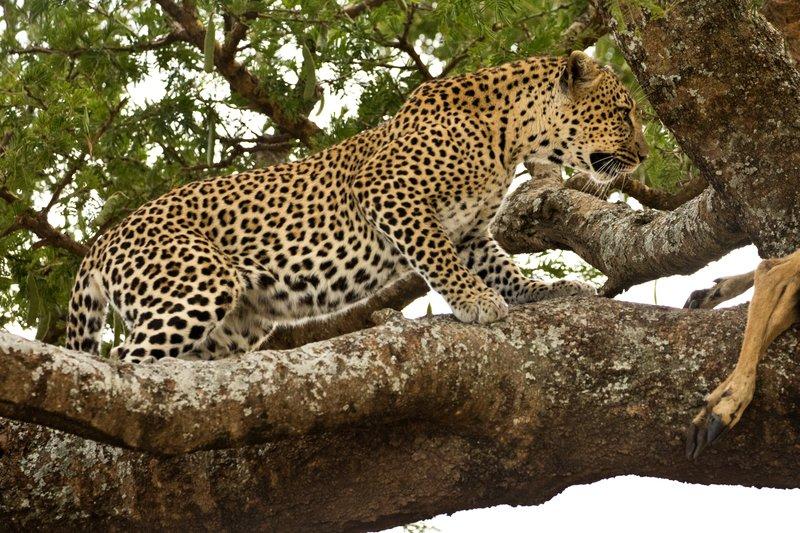 large_Leopard_60.jpg