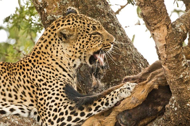 large_Leopard_77.jpg